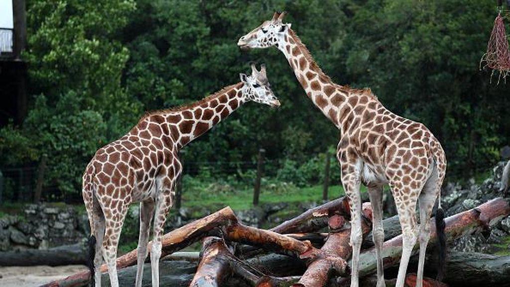 Kebun Binatang di London Kembali Dibuka