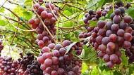 Asyik! Bisa Panen Anggur Hijau dan Merah di Kampung Anggur Bantul