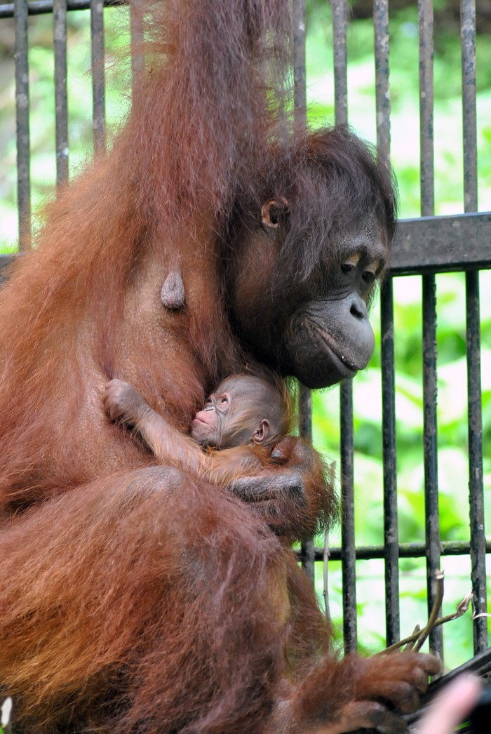Seekor induk Orangutan Kalimantan (Pongo pygmaeus) menggendong dan menyusui anaknya yang baru lahir di dalam kandang di Taman Safari Indonesia (TSI), Cisarua, Kabupaten Bogor, Jawa Barat, Rabu (27/5/2020). Bayi Orangutan Kalimantan yang lahir di Lembaga Konservasi TSI Bogor pada Minggu (25/5/2020) tersebut diberi nama Fitri oleh Menteri Lingkungan Hidup dan Kelautan Siti Nurbaya karena bertepatan dengan suasana Hari Raya Idul Fitri 1441 H. ANTARA FOTO/Arif Firmansyah/aww.