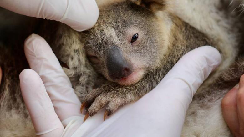 Bayi koala pertama yang lahir setelah kebakaran hutan hebat di australia