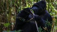 Saat Sekelompok Gorila Bertemu Ular di Kandang, Apa yang Terjadi?