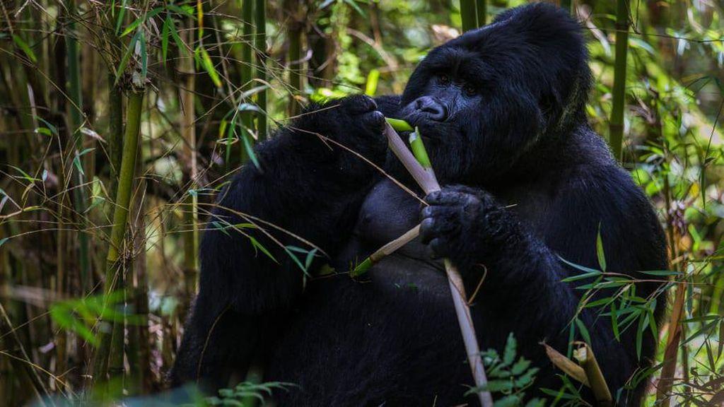 Seorang Wanita Penjaga Kebun Binatang Diserang Gorila di Spanyol