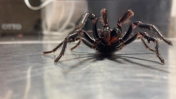 Di Australian Reptile Park yang berlokasi di kota Sydney, hidup spesies laba-laba monster. Penampakannya tinggi besar, mirip bintang Smackdown The Rock alias Dwayne Johnson. (dok. The Australian Reptile Park)