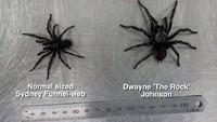 Laba-laba berwarna hitam ini pun diberi nama Dwayne The Rock Johnson. Ukurannya memang jauh lebih besar dari Sydney Funnel-Web Spider sejenisnya. (dok. The Australian Reptile Park)