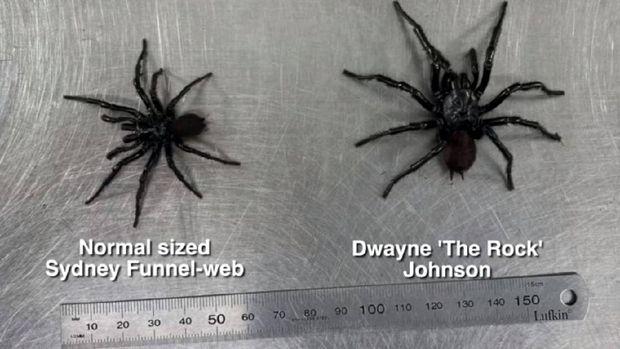 Laba-laba bernama Dwayne 'The Rock' Johnson