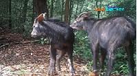 Langka! Kambing Hutan Sumatera Terlihat Lagi di TN Gunung Leuser