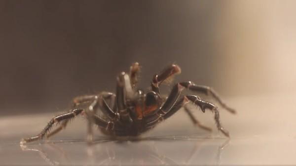The Australian Reptile Park pun tak henti-hentinya memberikan edukasi dan peringatan kepada warga lokal tentang bahaya laba-laba ini. Waspadalah! (dok. The Australian Reptile Park)