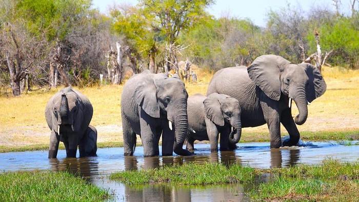 Gajah Afrika, makhluk hidup terbesar bumi