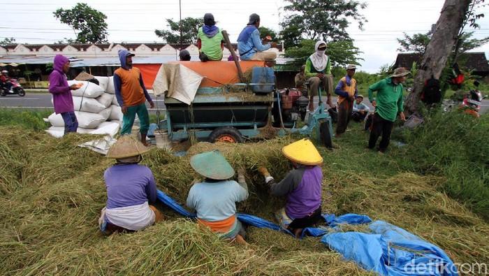 Sejumlah buruh tani dari kabupaten Sragen tampak sibuk menggarap sawah di Sragen. Belasan buruh tani itu diketahui memanen gabah dengan upah Rp 60 ribu per hari