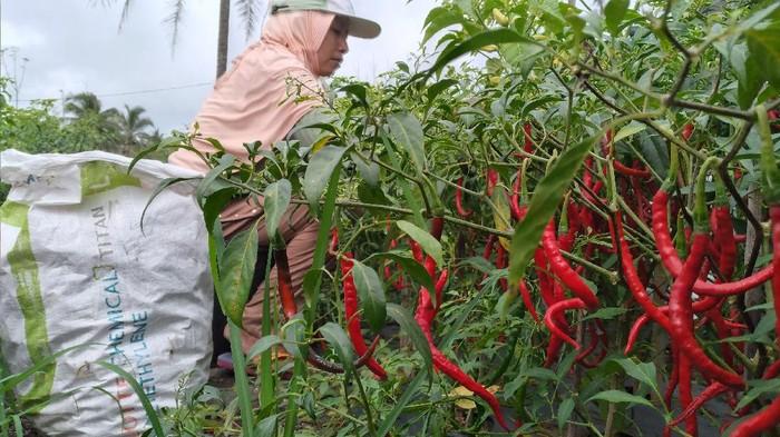 Petani cabai di Kulon Progo merugi