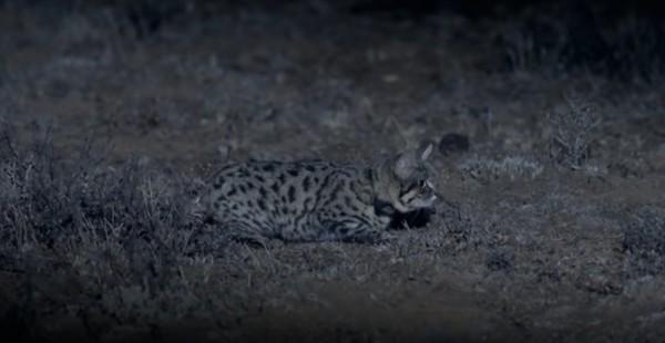 Si kaki hitam mencari mangsa kala malam tiba. Dengan pangjang tubuh sekitar 36-40 cm, si kaki hitam sulit untuk dilihat. (Yourube)