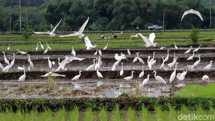 Habitat burung kuntul masih terjaga di area persawahan di Wonogiri, Jawa Tengah. Burung-burung ini tampak aman saat mencari makan di lahan pertanian.