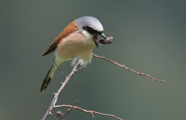 Burung asli Amerika Utara ini berburu dengan menggunakan trik. (Getty Images/iStockphoto)