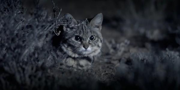 Meski kecil tapi si kaki hitam jago berburu. Tingkat keberhasilannya sampai 60 persen. (Youtube)