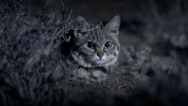 si kaki hitam atau black-footed cat, kucing liar terkecil dan mematikan dunia
