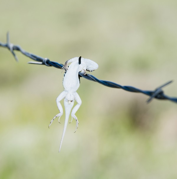 Ranting pohon sampai kawat berduri jadi saksi kesadisan shrike. (Getty Images/iStockphoto)