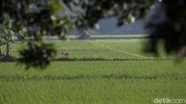 Puluhan Hektar Sawah di Polman Gagal Panen Akibat Banjir