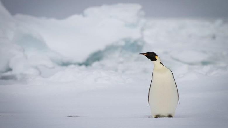 Penguin Kaisar, makhluk hidup terbesar bumi