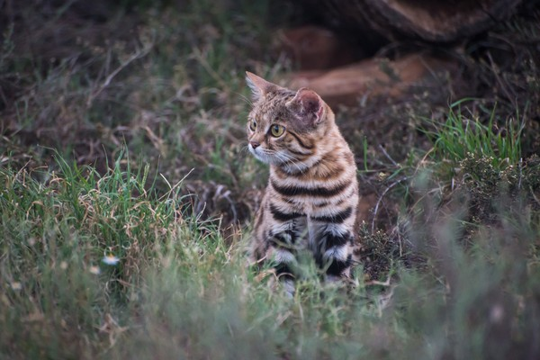 Nama ilmiahnya Felis Nigripes dan menjadi hewan endemik dari Afrika Selatan. (Getty Images/iStockphoto)