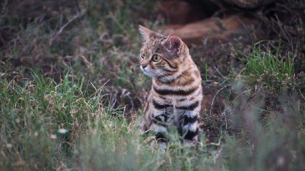 Si Kaki Hitam Kucing Imut Yang Mematikan