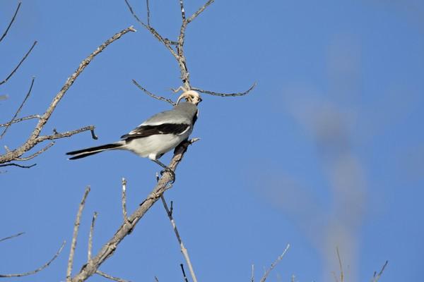 Julukannya ada dua, burung penyanyi dan the butcher. (Getty Images/iStockphoto)