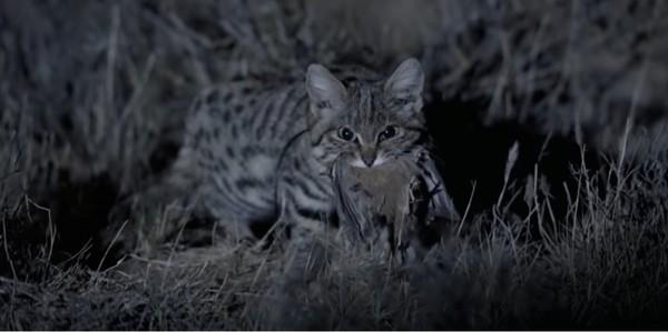 Julukannya adalah kucing liar terkecil dan mematikan Afrika. (Youtube)