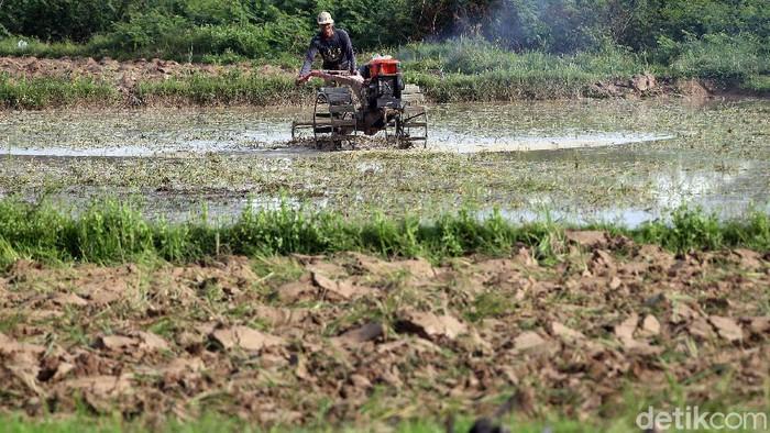 Merebaknya wabah Virus Covid-19 (Corona) tampaknya tidak terlalu risau dan tak berpengaruh pada kehidupan petani di wilayah Cikarang, Kabupaten Bekasi, Jawa Barat. Mereka tetap menggarap sawahnya.