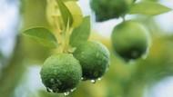 11 Manfaat Jeruk Nipis untuk Kesehatan yang Mungkin Kamu Belum Tahu