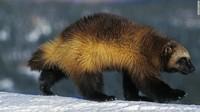 Langka! Beruang Mini atau Wolverine Terlihat di Pantai