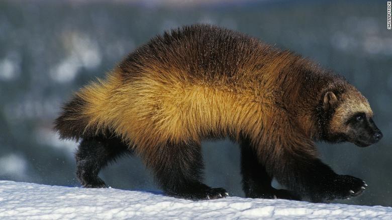 Wolverine atau beruang mini