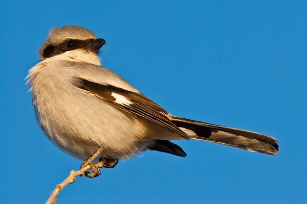 Shrike berukuran kecil dan berbulu indah. Cakar dan paruhnya tak mencolok seperti burung pemangsa. (Getty Images/iStockphoto)