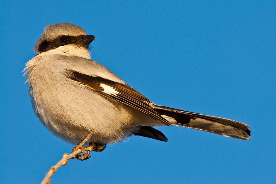 burung penyanyi si loggerhead shrike yang sadis