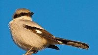 Shrike, Burung Bersuara Merdu yang Sadis