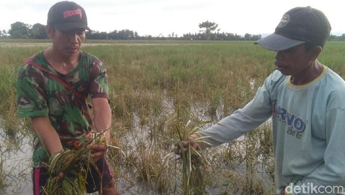 Banjir rendam persawahan di Polman, Sulbar.