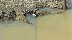 Warga Pernah Tangkap Buaya Muara 4 Meter di Sungai Cimandiri Sukabumi