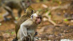 Bercengkerama dengan Puluhan Monyet di Wisata Mangunan