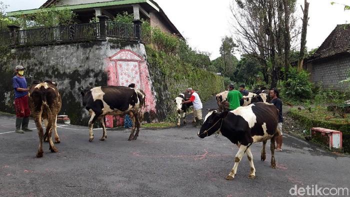 Warga menggembala ternak sapinya keliling kampung dalam tradisi syawalan Bakdo Sapi di Boyolali, Minggu (31/5/2020).
