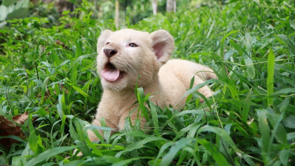 Gisel, Bayi Singa Putih Lahir di Taman Safari Prigen Saat Pandemi