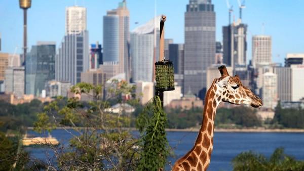 Kebun Binatang Taronga telah dibuka kembali untuk umum karena pembatasan COVID-19 mereda di seluruh Australia menyusul penurunan tingkat infeksi yang stabil.