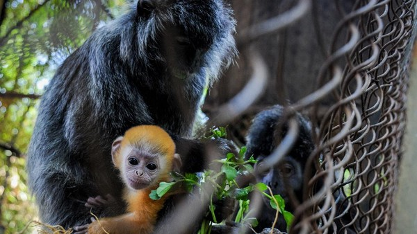 Seekor anak Lutung Jawa (Trachypitecus Auratus) lahir di tengah pandemi Corona. Kehadiran primata ini melengkapi koleksi hewan di Bandung Zoo. (ANTARA FOTO/RAISAN AL FARISI)