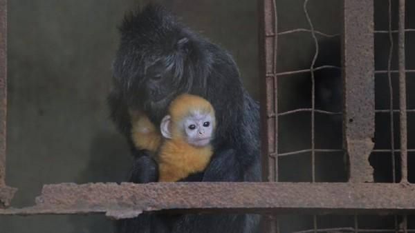 Untuk anak lutung yang baru lahir diberi extra feeding berupa sepotong telur rebus. Habitat asli hewan ini ada di Kalimantan dan Sumatera, termasuk di bagian barat daya semenanjung Melayu, Pulau Natuna dan pulau-pulau terdekat lainnya. (dok Istimewa)