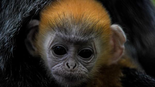 Bayi Lutung Jawa berbulu emas ini diberi nama Fitri. Hewan primata ini dilahirkan pada tanggal 3 Mei 2020. (ANTARA FOTO/RAISAN AL FARISI)