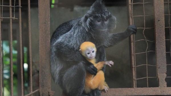 Kalau ini Remon, bayi lutung yang lahir dari pasangan jantan bernama Albert dan betina bernama Luluk. Remon juga lahir pada 3 Mei 2020. (dok Istimewa)