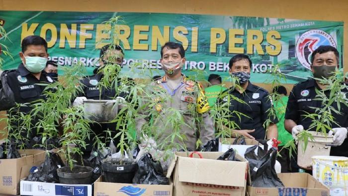 Polisi amankan sejumlah pohon ganja