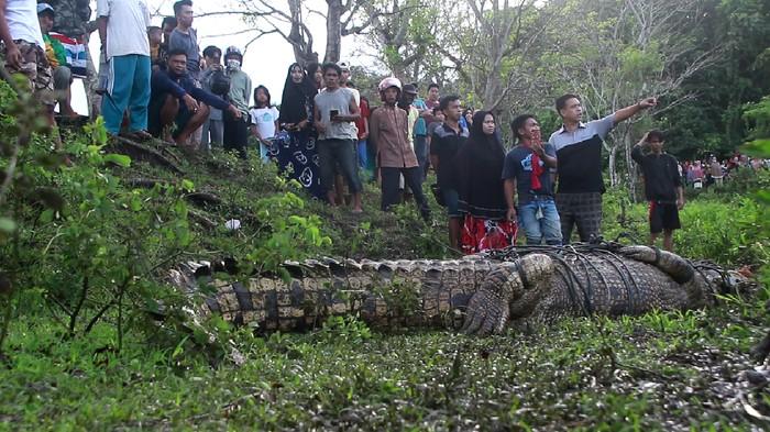 Buaya 4 meter ditangkap warga di Parepare, Sulsel.
