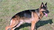Pertama di Amerika, Anjing Terinfeksi Virus Corona