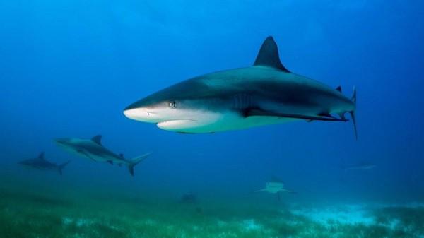 Perairan Bahama juga dipenuhi dengan hiu. Penyelam yang ke sini akan pergi ke lokasi penyelaman yang disebut Tiger Beach tempat terbaik untuk melihat hiu macan, hiu martil besar hingga hiu banteng.