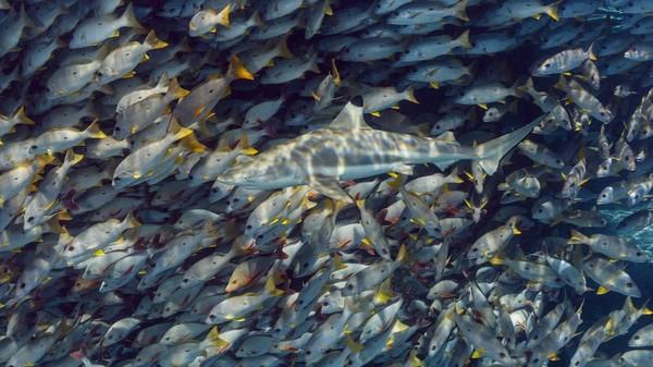 Ketika masuk ke air dan menyelam melalui lorong-lorong di Tuamotu Atolls seperti Rangiroa dan Fakarava (cagar Biosfer UNESCO), Anda melihat begitu banyak hiu di jarak dekat.