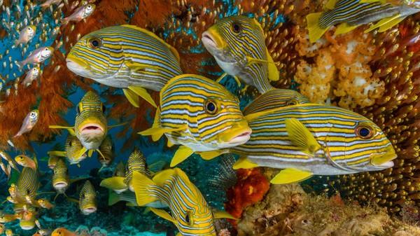 Penyelam terbaik dunia pasti pernah atau ingin menyelami Raja Ampat karena berada di Segitiga Terumbu Karang. Raja Ampat adalah rumah bagi lebih dari 1.300 spesies ikan karangdan terumbu karangnyasalah satu yang paling murni di dunia.