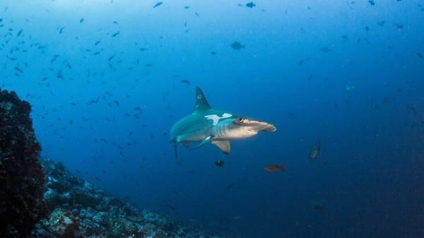 Pulau Cocos sudah seperti stasiun jalur Pasifik timur bagi setiap jenis makhluk hidup. Ada hiu martil, ikan nuri, ikan tupai hingga pari.
